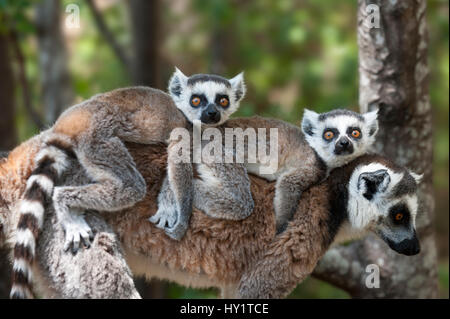 Young Ring-tailed lemurs (Lemur catta) carried on mother's back, Madagascar. - Stock Photo