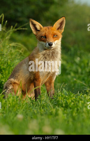 Red Fox (Vulpes Vulpes) adult at rest, UK, taken in controlled conditions, August. - Stock Photo