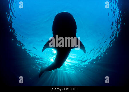 Whale shark (Rhincodon typus) silhouette of shark feeding on floating fish eggs (not visible) just below the surface - Stock Photo