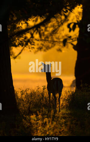 Fallow deer (Dama dama) doe at sunrise during rut, Deer Park, Holkham, Norfolk, UK, October. - Stock Photo