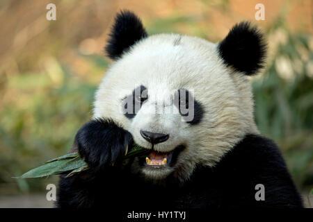 Giant Panda (Ailuropoda melanoleuca) sub adult feeding. Bifengxia, China. Captive. - Stock Photo