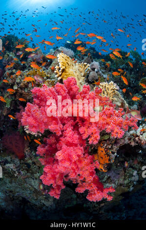 Colourful scene on coral reef, with soft coral (Scleronephthya corymbosa) and Scalefin anthias (Pseudanthias squamipinnis) - Stock Photo