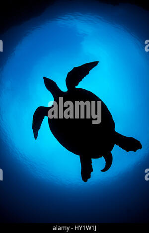 Silhouette of large male Hawksbill turtle (Eretmochelys imbricata) swimming in open water above coral reef. Boo - Stock Photo