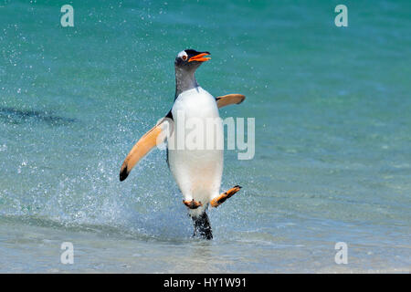 Gentoo penguin (Pygoscelis papua) jumping onto beach, Carcass Island, Falkland Islands. - Stock Photo