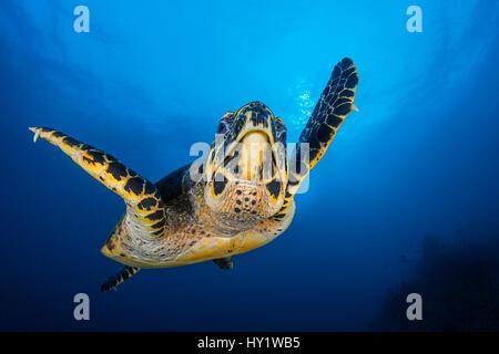 Hawksbill turtle (Eretmochelys imbricata) male swimming in open water above coral reef. Tank Rock, Fiabacet, Misool, - Stock Photo