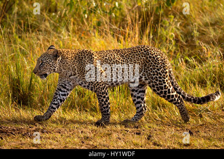 African Leopard (Panthera pardus) walking. Maasai Mara, Kenya, Africa. August. - Stock Photo