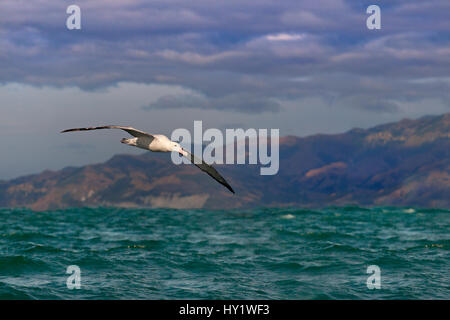 Wandering albatross (Diomedea exulans) in flight, Kaikoura, New Zealand - Stock Photo