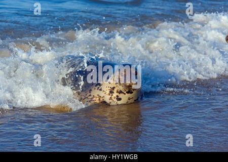 Grey seal (Halichoerus grypus) in breaking waves Blakeney Point, Norfolk, England, UK, December. - Stock Photo