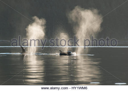 Killer whales / orca (Orcinus orca) transient blowing at surface, Haro Strait, between the San Juan Islands of Washington - Stock Photo