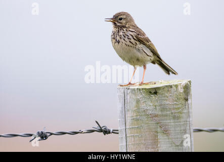 Meadow pipit, (Anthus pratensis) on fence post, Islay, Scotland. - Stock Photo