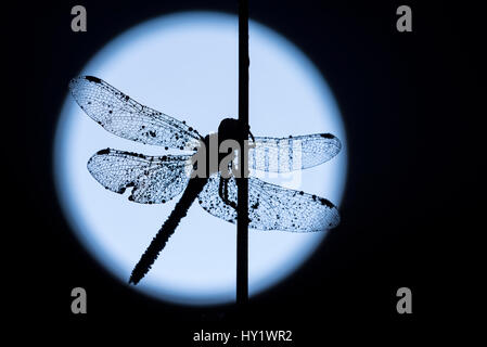 Common darter dragonfly (Sympetrum striolatum) resting on reed, silhouetted against the moon,  Devon, UK. August - Stock Photo