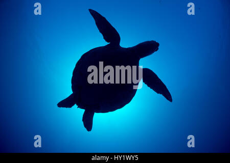 Silhouette of a Green sea turtle (Chelonia mydas) against sun in blue water above coral reef. Rock Islands, Palau, - Stock Photo