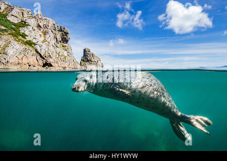 Young grey seal (Halichoerus grypus) swimming at surface beneath cliffs of Lundy Island, Devon, England, United - Stock Photo