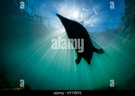 Large adult female grey seal (gray seal: Halichoerus grypus) silhoutted against sun. Lundy Island, Devon, England, - Stock Photo