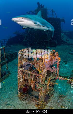 Female Caribbean reef shark (Carcharhinus perezi) cruises over Ray Of Hope wreck. Nassau, New Providence, Bahamas. - Stock Photo