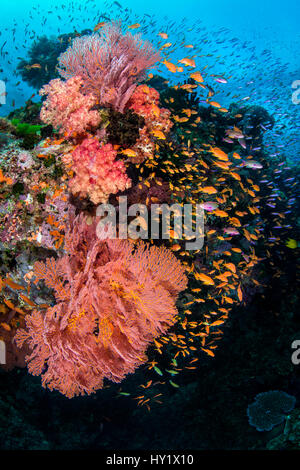 A colourful reef scene with seafans (Melithaea sp.) soft corals (Dendronephthya sp) and mainly female scalefin anthias - Stock Photo