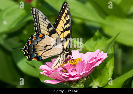 Eastern Tiger Swallowtail Butterfly (Papilio glaucus) nectaring on Zinnia in farm garden, wild and free. Essex, - Stock Photo
