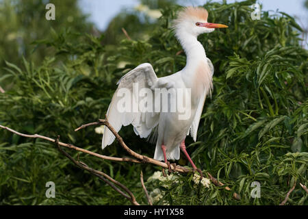 Cattle egret (Bubulcus ibis) in breeding plumage perched near nest. Kississimmee, Florida, USA. - Stock Photo