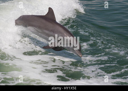 Atlantic bottlenose dolphin (Tursiops truncatus) leaping wild and natural. Boca Ciega Bay (part of Tampa Bay), Florida, - Stock Photo