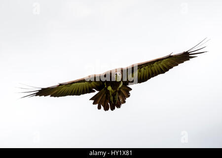Hooded vulture (Necrosyrtes monachus) in flight. Gambia, Africa. May 2016. - Stock Photo