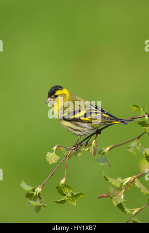 Siskin (Carduelis spinus) male perched on birch sprig in spring. Scotland, UK, May. - Stock Photo