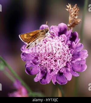 Lulworth Skipper butterfly (Thymelicus acteon) female on field scabious. England. - Stock Photo