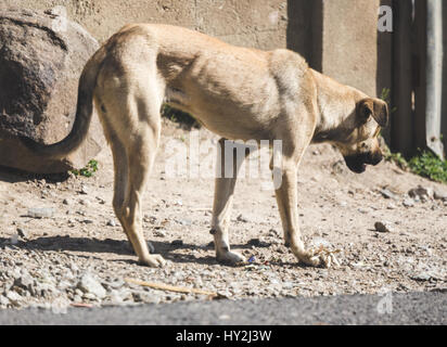 Stray dog walking near the road in rural Guatemala, Central America. - Stock Photo