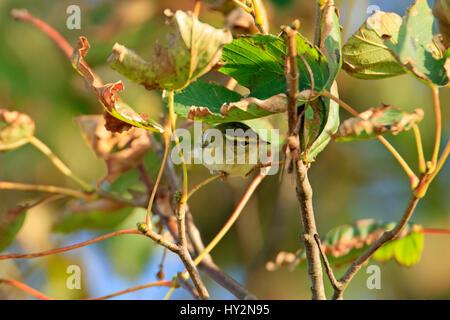 Yellow-browed Warbler (Phylloscopus inornatus) in sycamore leaves. Pouillot à grands sourcils. Gelbbrauen-Laubsänger. - Stock Photo