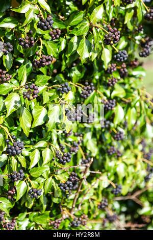 Berries of Hedera helix (Common Ivy, English Ivy) England UK - Stock Photo