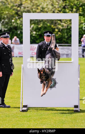 BELFAST, NORTHERN IRELAND. 22 MAY 2016 - PD Odin from Police Scotland jumps an obstacle in the 56th UK National - Stock Photo