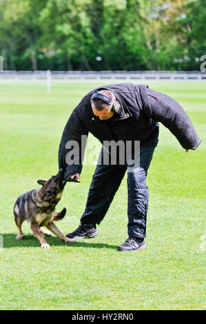 BELFAST, NORTHERN IRELAND. 22 MAY 2016 - PD Metpol Thames Annie from the Metropolitan Police restrains a dog handler - Stock Photo