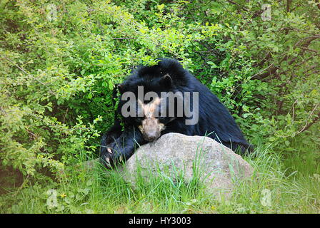 andean bear resting - Stock Photo