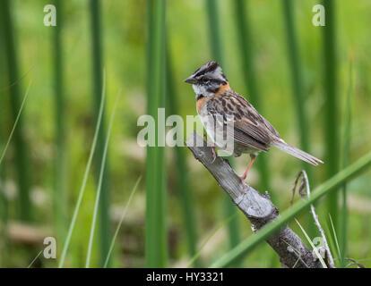 Rufous-collared Sparrow (Zonotrichia capensis) perched on a branch. Peru. - Stock Photo