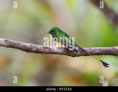 A male Booted Racket-tail (Ocreatus underwoodii) perched on a branch. Peru. - Stock Photo