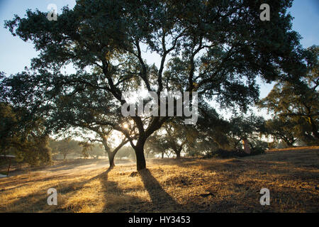 DONANA NATIONAL PARK, SEVILLE, SPAIN: A late afternoon sun shining through a large Oak trees, creating a big silhouette. - Stock Photo