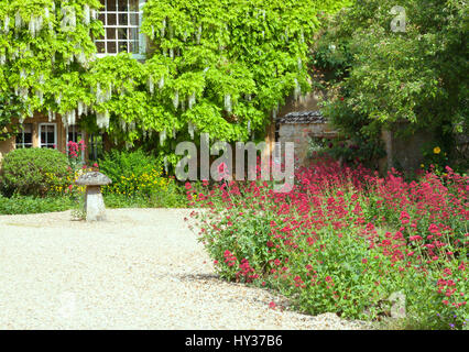 Front cottage garden with red flowers along stone driveway, house wall covered by white wisteria plant in bloom - Stock Photo