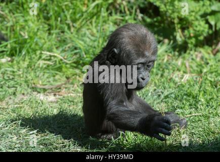 Young Western Lowland Gorilla, Gorilla gorilla, Hominidae - Stock Photo