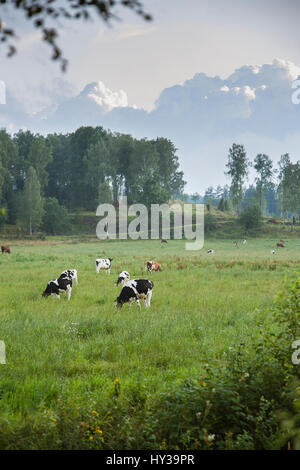 Sweden, Smaland, Cows grazing in green meadow - Stock Photo