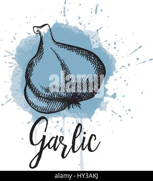 Vector illustration of garlic. Hand drawn graphics - Stock Photo