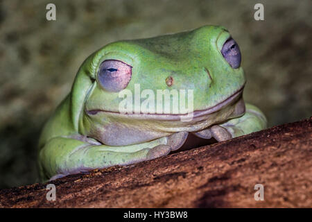 very close up image of the head of a whites tree frog resting on a log showing eye detail and appearing to be smiling - Stock Photo