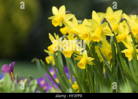 Blossoming narcissi, Blühende Narzissen - Stock Photo
