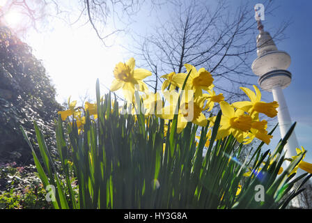 Narcissi in the park Planning un Blomen and television tower in Hamburg, Germany, Europe, Narzissen im Park Planten - Stock Photo