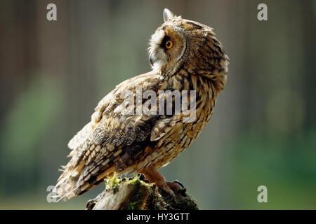 Scotland, Glenfeshie, Long Eared Owl. Asio otus. Single bird perched on tree stump. - Stock Photo