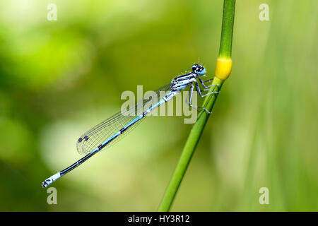 Small dragonfly horseshoe-azure spinster, Coenagrion puella, Kleinlibelle Hufeisen-Azurjungfer - Stock Photo