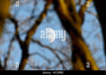 Moon between tree branches, Mond zwischen Baumästen - Stock Photo