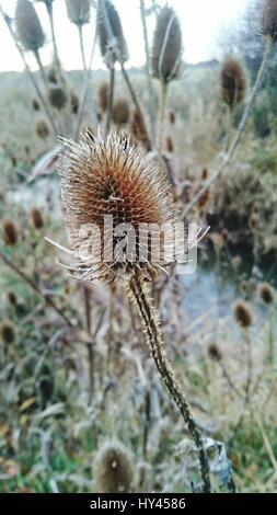 Close-Up Of Thistle Against Sky - Stock Photo