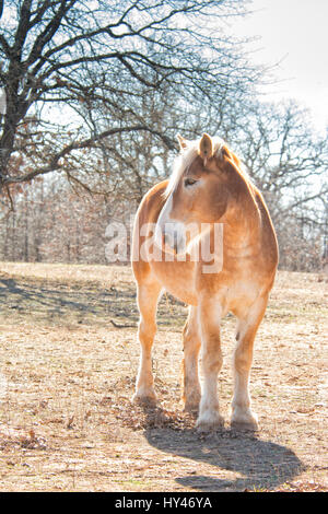 Belgian draft horse standing in winter pasture, front view, backlit by sun - Stock Photo