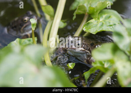 Rana temporaria. Common frogs and frogs spawn in a garden pond - Stock Photo