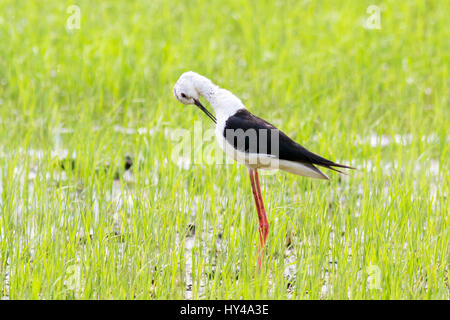 A juvenile Black-winged Stilt (Himantopu himantopus) preening itself in a field of young rice in central Thailand - Stock Photo