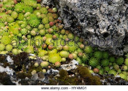 Houseleeks sempervivum in stone troughs rockery stock for Pip probert garden designer